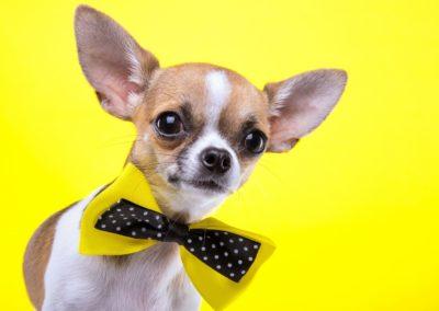dog-chihuahua-mammal-1920x1080-px-vertebrate-dog-like-mammal-carnivoran-dog-breed-Stuffed-Animals-728635